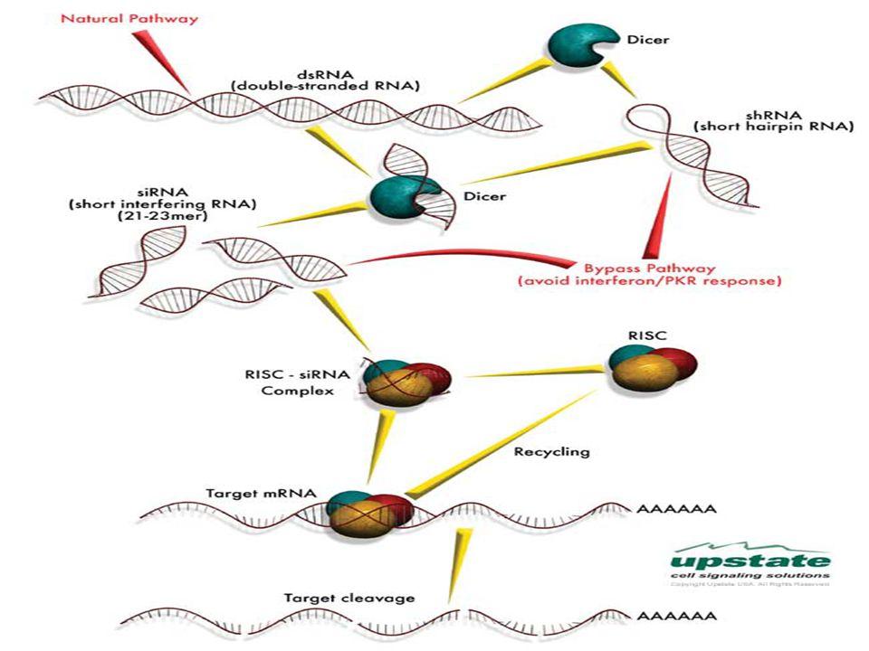 3. siRNS-ek : -megtalálhatók a természetben: hosszú dsRNS-ből hasogatja le a DICER enzim (Rnáz-III). -21-28 nt hosszúak: 2 nukleotidos 3'- és 5'-túlny