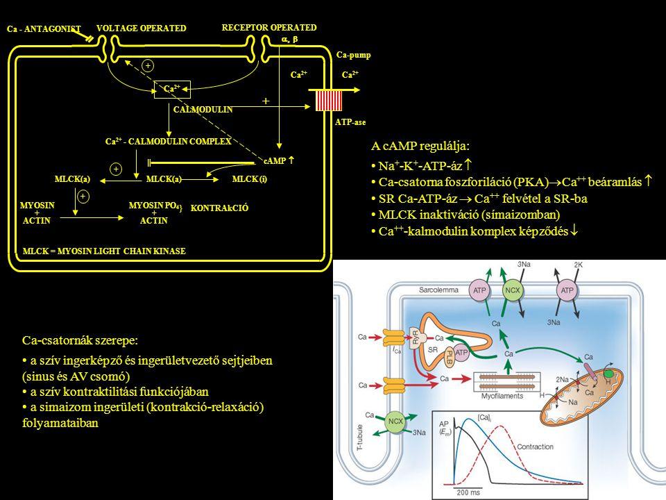 Ca-csatornák szerepe: a szív ingerképző és ingerületvezető sejtjeiben (sinus és AV csomó) a szív kontraktilitási funkciójában a simaizom ingerületi (k
