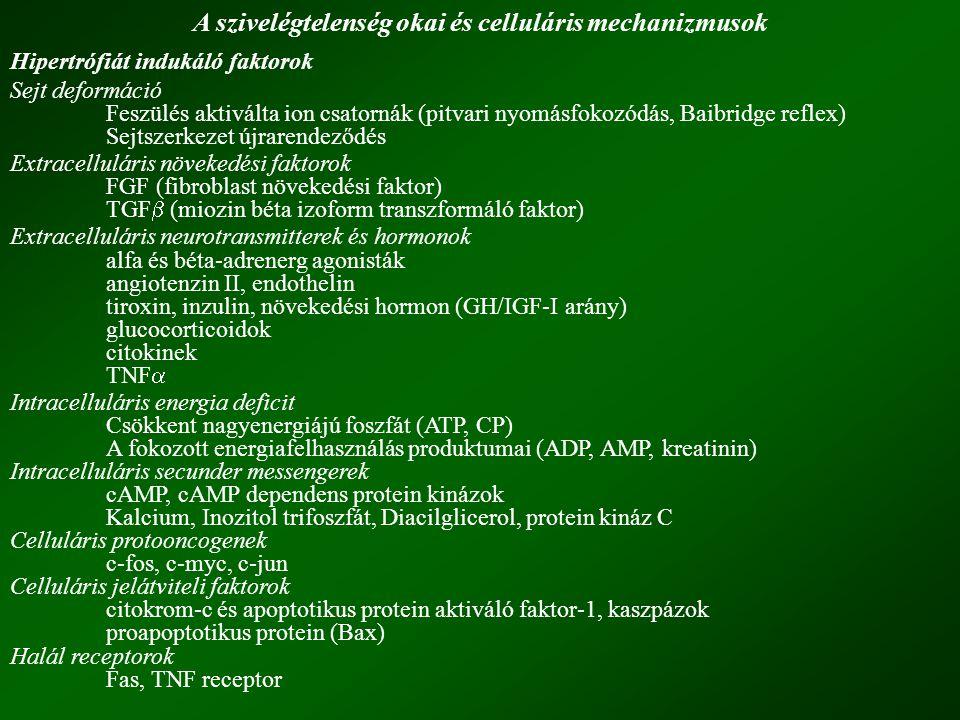 A szivelégtelenség okai és celluláris mechanizmusok Hipertrófiát indukáló faktorok Sejt deformáció Feszülés aktiválta ion csatornák (pitvari nyomásfokozódás, Baibridge reflex) Sejtszerkezet újrarendeződés Extracelluláris növekedési faktorok FGF (fibroblast növekedési faktor) TGF  (miozin béta izoform transzformáló faktor) Extracelluláris neurotransmitterek és hormonok alfa és béta-adrenerg agonisták angiotenzin II, endothelin tiroxin, inzulin, növekedési hormon (GH/IGF-I arány) glucocorticoidok citokinek TNF  Intracelluláris energia deficit Csökkent nagyenergiájú foszfát (ATP, CP) A fokozott energiafelhasználás produktumai (ADP, AMP, kreatinin) Intracelluláris secunder messengerek cAMP, cAMP dependens protein kinázok Kalcium, Inozitol trifoszfát, Diacilglicerol, protein kináz C Celluláris protooncogenek c-fos, c-myc, c-jun Celluláris jelátviteli faktorok citokrom-c és apoptotikus protein aktiváló faktor-1, kaszpázok proapoptotikus protein (Bax) Halál receptorok Fas, TNF receptor