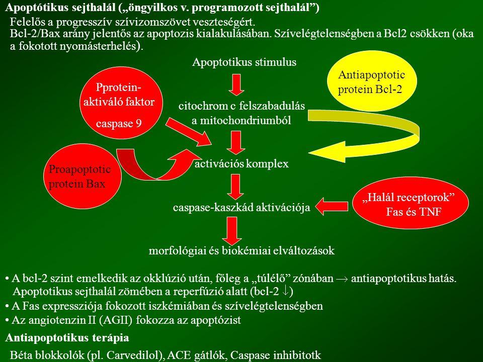 """Apoptótikus sejthalál (""""öngyilkos v. programozott sejthalál"""") Felelős a progresszív szívizomszövet veszteségért. Bcl-2/Bax arány jelentős az apoptozis"""