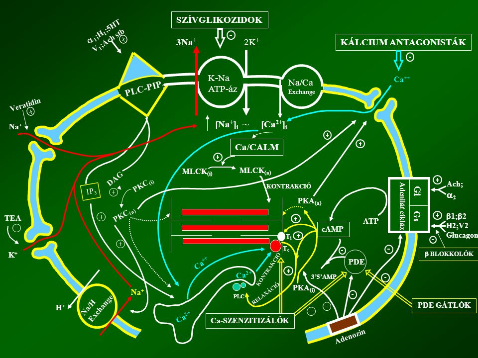 PLC-PIP 2 SZÍVGLIKOZIDOK K-Na ATP-áz Na/Ca Exchange 2K + 3Na + Gi Gs Adenilát cikláz KÁLCIUM ANTAGONISTÁK [Ca 2+ ] i [Na + ] i PDE GÁTLÓK Adenozin Ca/