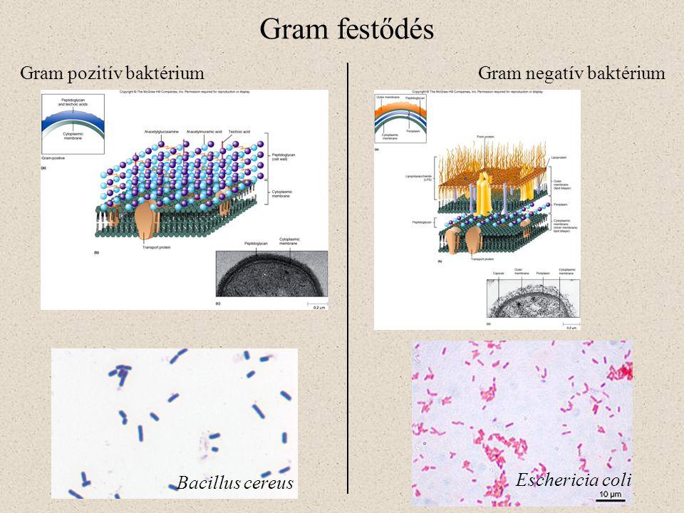 Gram festődés Bacillus cereus Eschericia coli Gram pozitív baktériumGram negatív baktérium