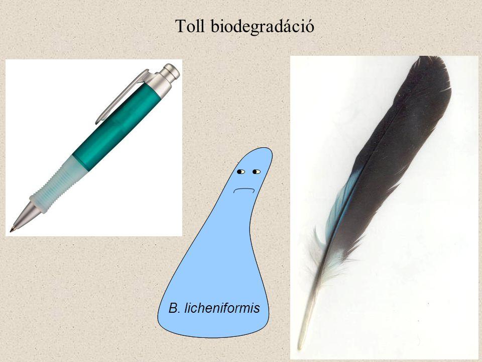 B. licheniformis Toll biodegradáció