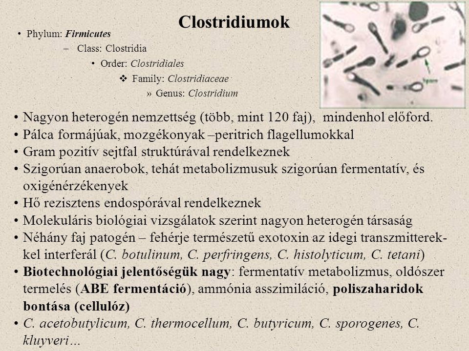 Clostridiumok Phylum: Firmicutes –Class: Clostridia Order: Clostridiales  Family: Clostridiaceae »Genus: Clostridium Nagyon heterogén nemzettség (töb