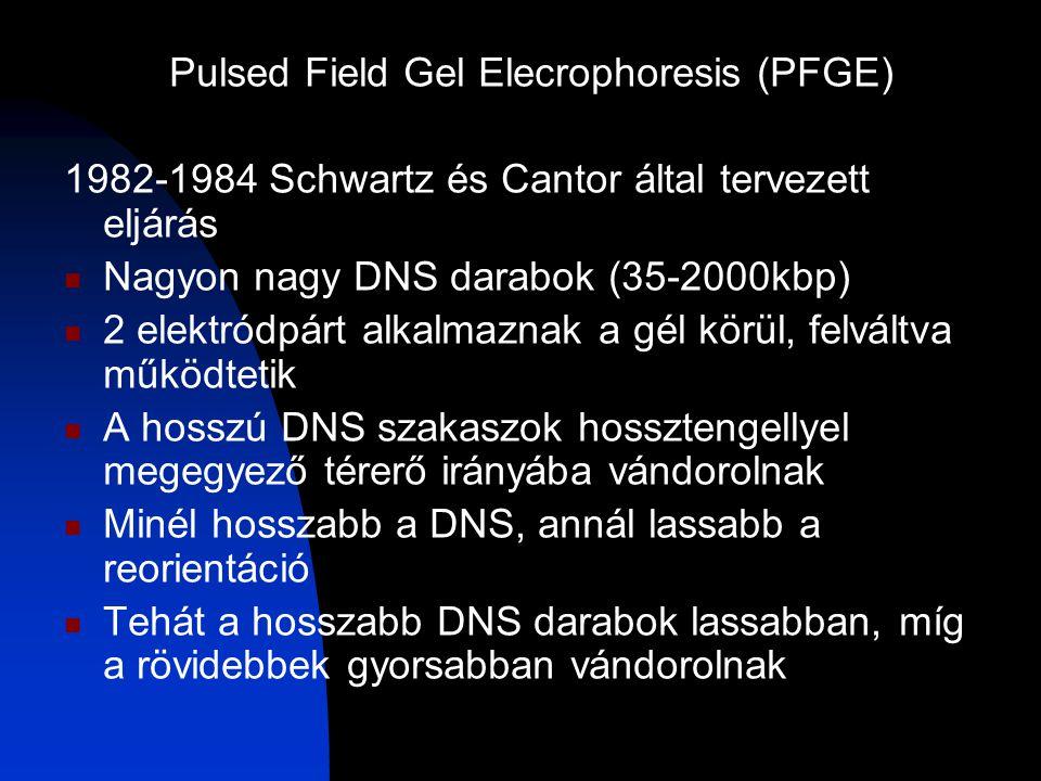 Pulsed Field Gel Elecrophoresis (PFGE) 1982-1984 Schwartz és Cantor által tervezett eljárás Nagyon nagy DNS darabok (35-2000kbp) 2 elektródpárt alkalmaznak a gél körül, felváltva működtetik A hosszú DNS szakaszok hossztengellyel megegyező térerő irányába vándorolnak Minél hosszabb a DNS, annál lassabb a reorientáció Tehát a hosszabb DNS darabok lassabban, míg a rövidebbek gyorsabban vándorolnak