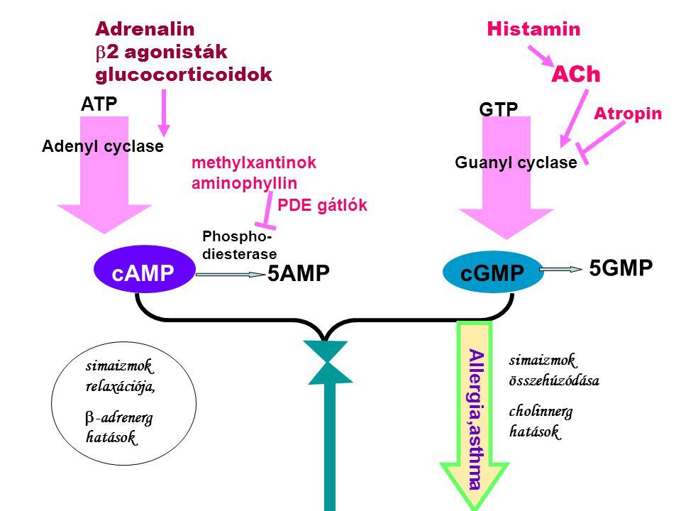 cAMP Adenyl cyclase cGMP Guanyl cyclase 5AMP Phospho- diesterase 5GMP simaizmok relaxációja,  -adrenerg hatások simaizmok összehúzódása cholinnerg ha