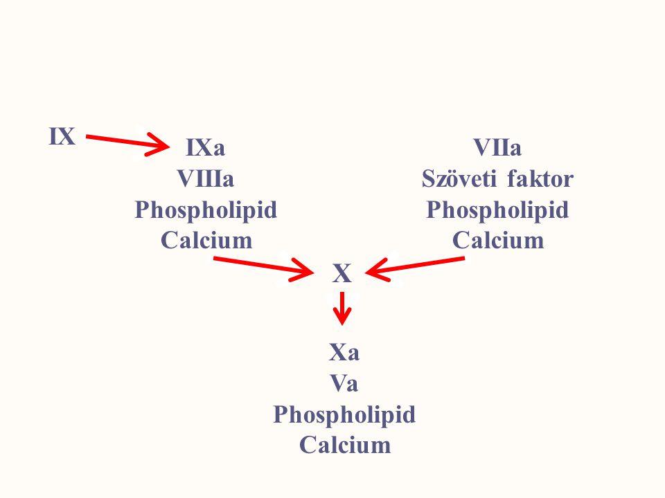IX IXa VIIIa Phospholipid Calcium VIIa Szöveti faktor Phospholipid Calcium Xa Va Phospholipid Calcium X