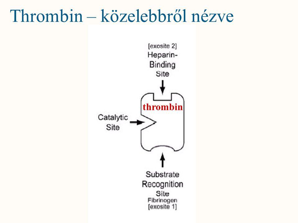 Thrombin – közelebbről nézve thrombin
