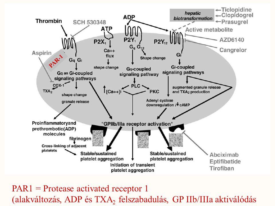 PAR-1 PAR1 = Protease activated receptor 1 (alakváltozás, ADP és TXA 2 felszabadulás, GP IIb/IIIa aktiválódás