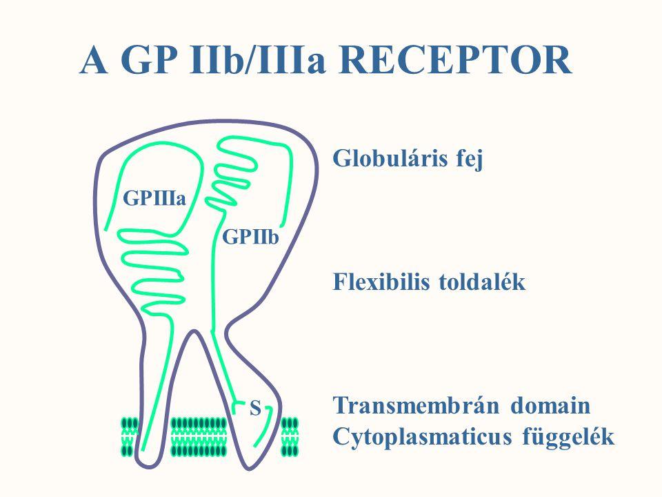 A GP IIb/IIIa RECEPTOR GPIIIa GPIIb S Globuláris fej Flexibilis toldalék Transmembrán domain Cytoplasmaticus függelék