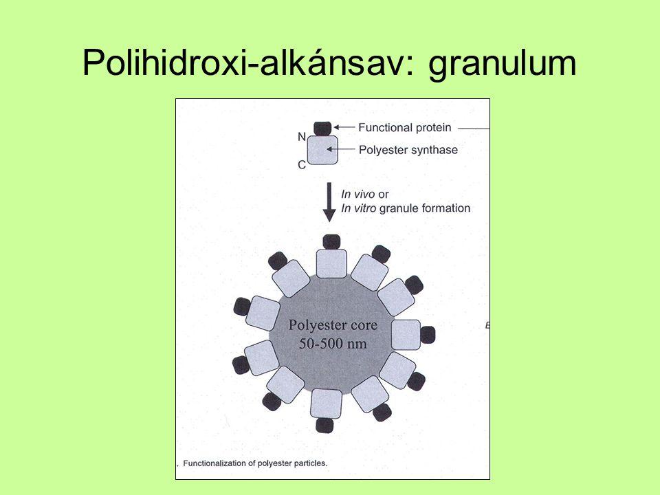 Ca-só, vízben nem oldódik –PHA –PHA szintáz –PHA depolimeráz –Strukturális fehérjék