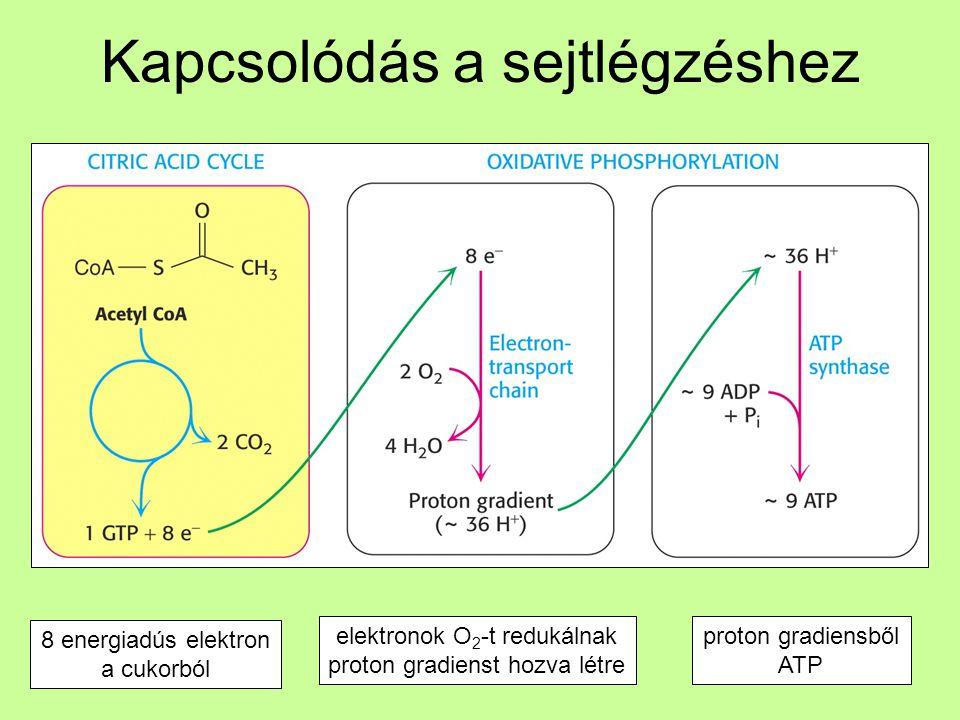 Kapcsolódás a sejtlégzéshez 8 energiadús elektron a cukorból elektronok O 2 -t redukálnak proton gradienst hozva létre proton gradiensből ATP