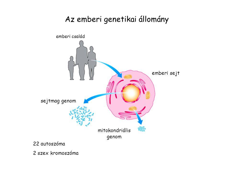 Az emberi genetikai állomány emberi család emberi sejt sejtmag genom mitokondriális genom 22 autoszóma 2 szex kromoszóma