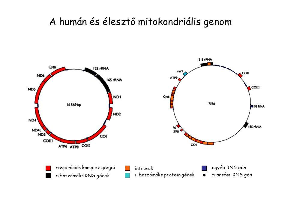 A humán és élesztő mitokondriális genom respirációs komplex génjei riboszómális RNS gének intronok riboszómális protein gének egyéb RNS gén transfer RNS gén