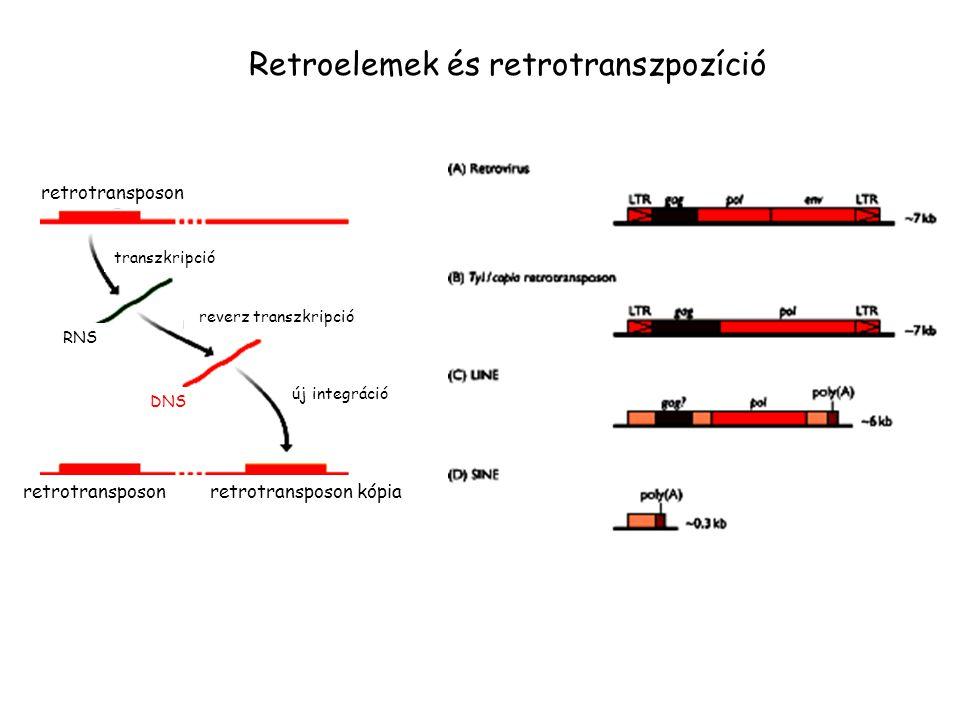 retrotransposon transzkripció RNS reverz transzkripció DNS új integráció retrotransposon retrotransposon kópia Retroelemek és retrotranszpozíció
