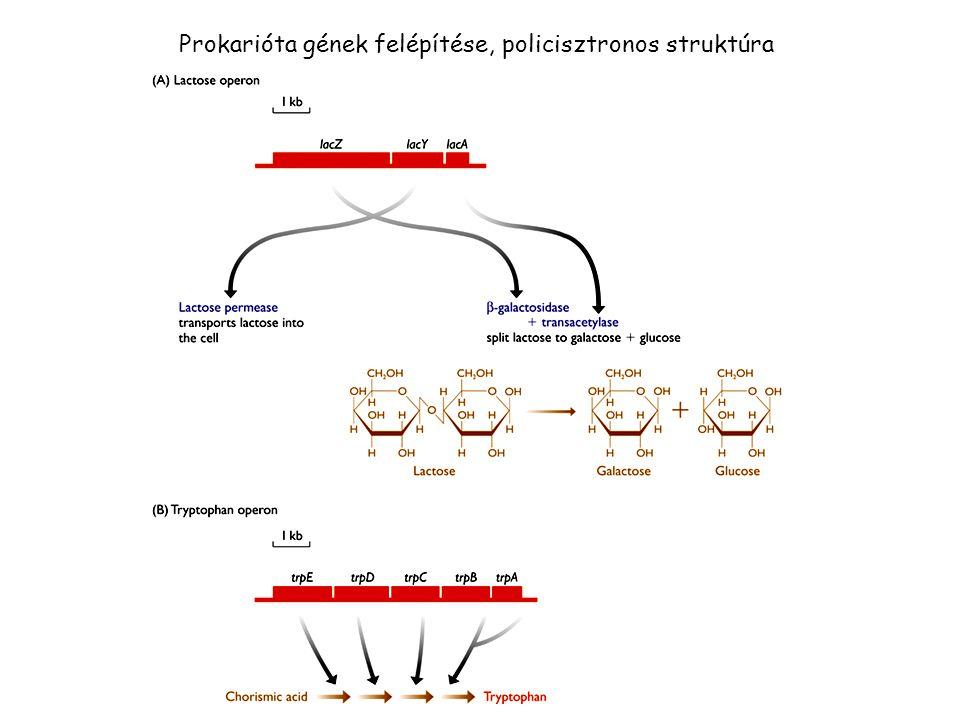 Prokarióta gének felépítése, policisztronos struktúra