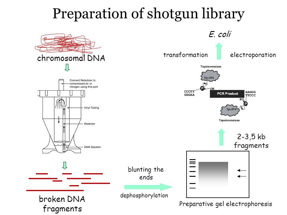 Preparation of shotgun library chromosomal DNA broken DNA fragments blunting the ends Preparative gel electrophoresis 2-3,5 kb fragments dephosphorylation transformationelectroporation E.