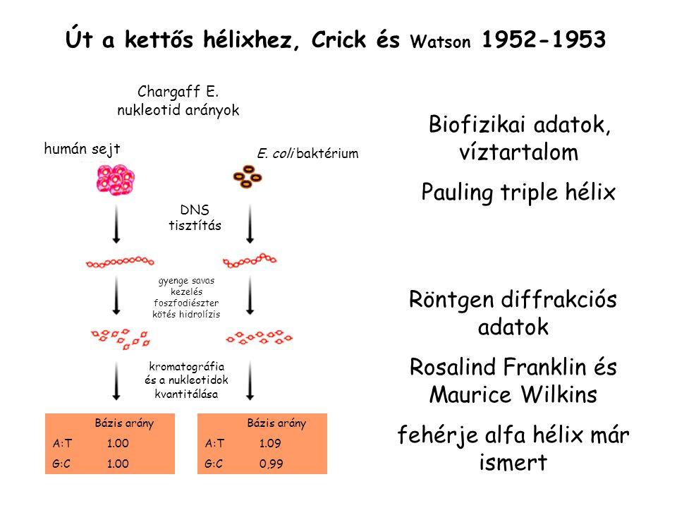 replikatívkonzervatív DNS transpozonok eukariótákban a retrotranszpozon a jellemzőbb