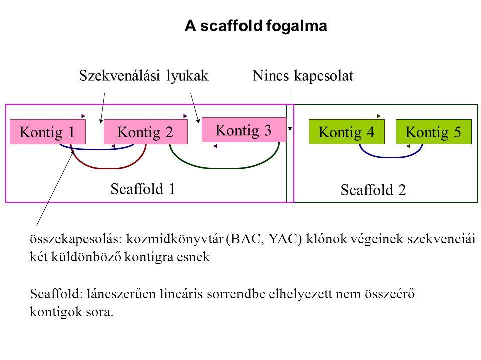 összekapcsolás: kozmidkönyvtár (BAC, YAC) klónok végeinek szekvenciái két küldönböző kontigra esnek Szekvenálási lyukakNincs kapcsolat Scaffold 2 Scaffold 1 Kontig 4Kontig 5Kontig 1Kontig 2 Kontig 3 Scaffold: láncszerűen lineáris sorrendbe elhelyezett nem összeérő kontigok sora.