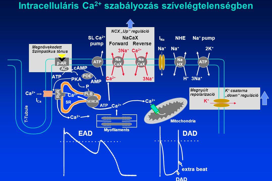 Ca 2+ SR RyR Na + I Na Na HX H+H+ Na + NHE ATP 3Na + 2K + Na + pump K+K+ Myofilaments Ca 2+ Na CaX Na CaX 3Na + Ca 2+ NaCaX Forward Reverse 3Na + SL C