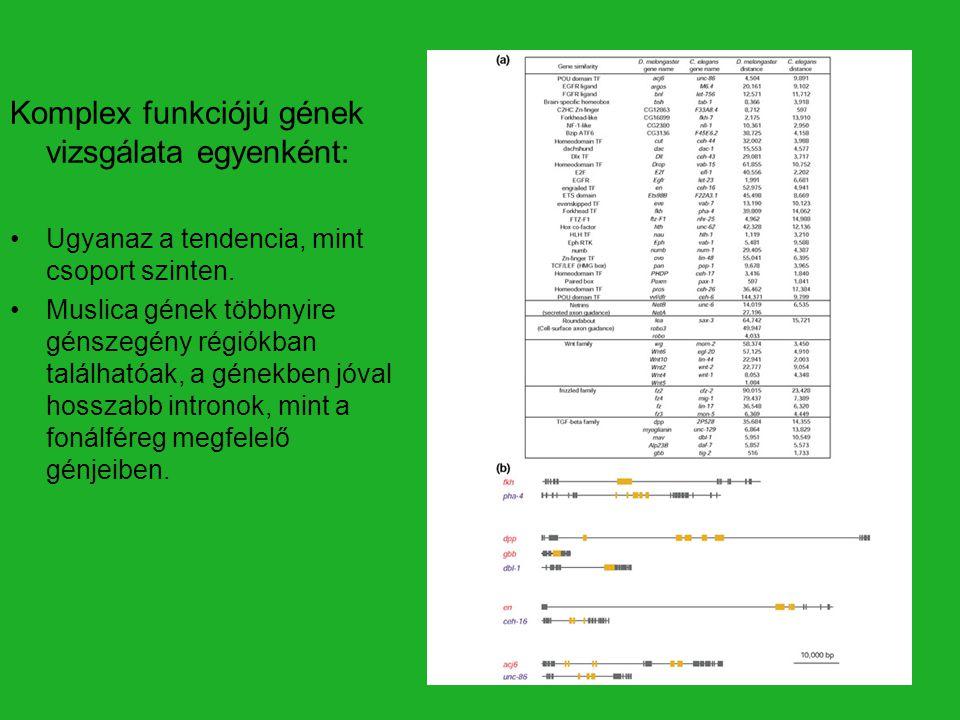 Komplex funkciójú gének vizsgálata egyenként: Ugyanaz a tendencia, mint csoport szinten. Muslica gének többnyire génszegény régiókban találhatóak, a g