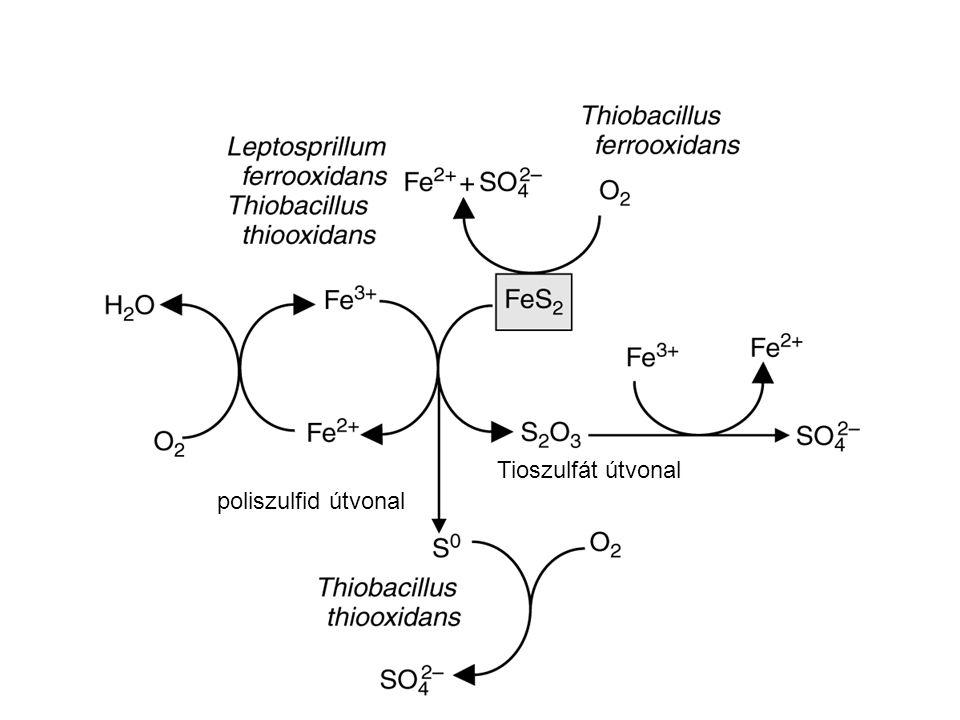 Tioszulfát útvonal poliszulfid útvonal