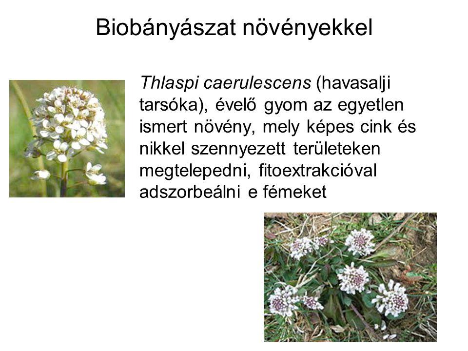 Biobányászat növényekkel Thlaspi caerulescens (havasalji tarsóka), évelő gyom az egyetlen ismert növény, mely képes cink és nikkel szennyezett terület
