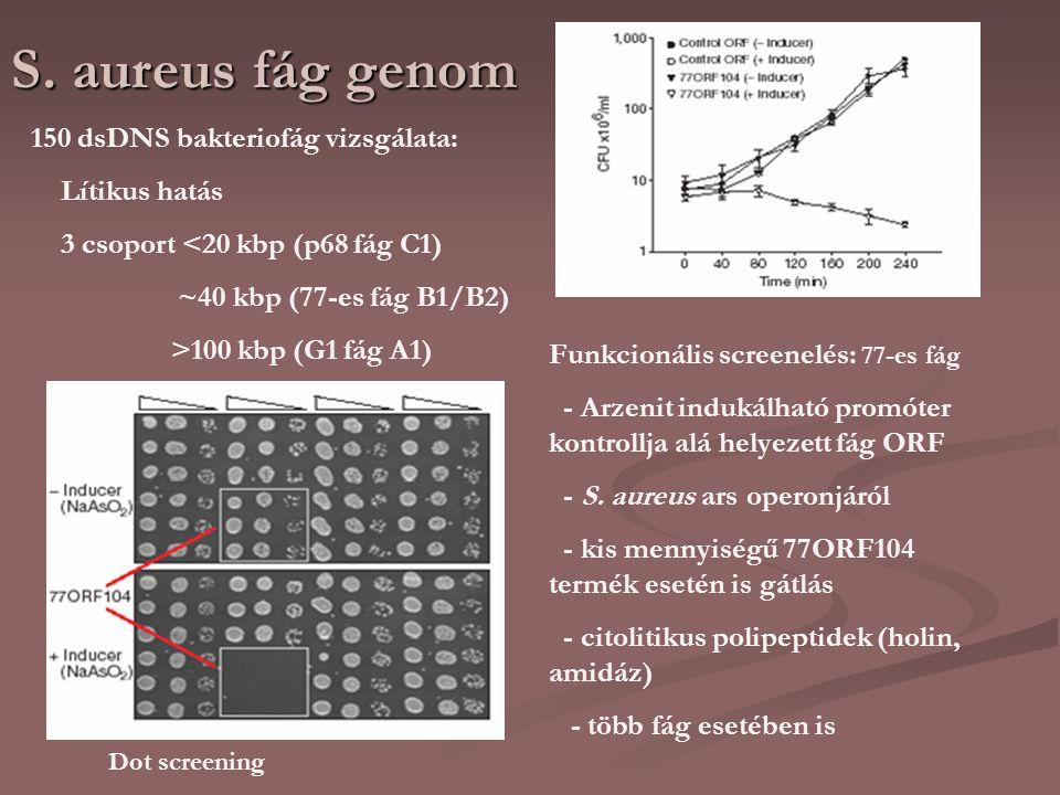 S. aureus fág genom 150 dsDNS bakteriofág vizsgálata: Lítikus hatás 3 csoport <20 kbp (p68 fág C1) ~40 kbp (77-es fág B1/B2) >100 kbp (G1 fág A1) Funk