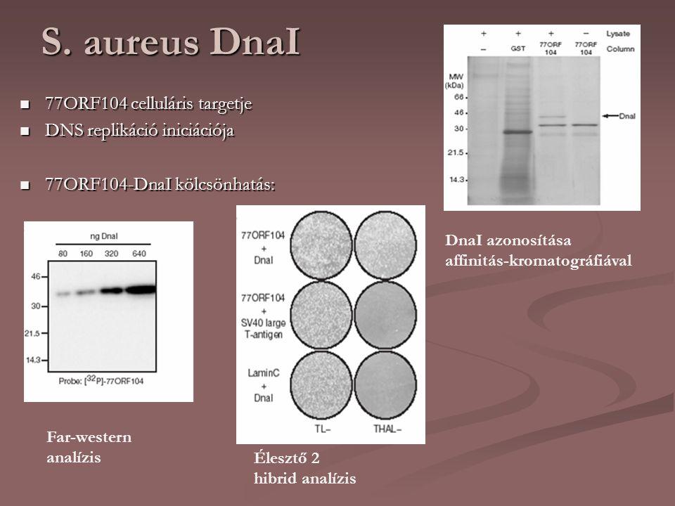 S. aureus DnaI 77ORF104 celluláris targetje 77ORF104 celluláris targetje DNS replikáció iniciációja DNS replikáció iniciációja 77ORF104-DnaI kölcsönha