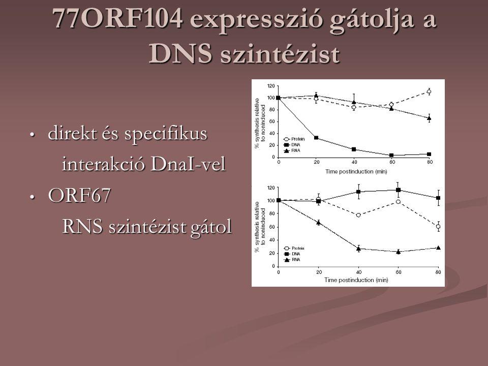 77ORF104 expresszió gátolja a DNS szintézist direkt és specifikus direkt és specifikus interakció DnaI-vel interakció DnaI-vel ORF67 ORF67 RNS szintézist gátol RNS szintézist gátol