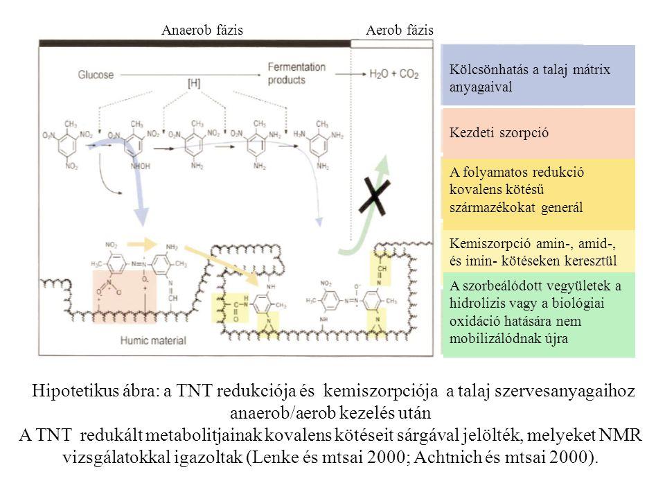 Anaerob fázisAerob fázis Kölcsönhatás a talaj mátrix anyagaival Kezdeti szorpció Kemiszorpció amin-, amid-, és imin- kötéseken keresztül A szorbeálódott vegyületek a hidrolizis vagy a biológiai oxidáció hatására nem mobilizálódnak újra A folyamatos redukció kovalens kötésű származékokat generál Hipotetikus ábra: a TNT redukciója és kemiszorpciója a talaj szervesanyagaihoz anaerob/aerob kezelés után A TNT redukált metabolitjainak kovalens kötéseit sárgával jelölték, melyeket NMR vizsgálatokkal igazoltak (Lenke és mtsai 2000; Achtnich és mtsai 2000).