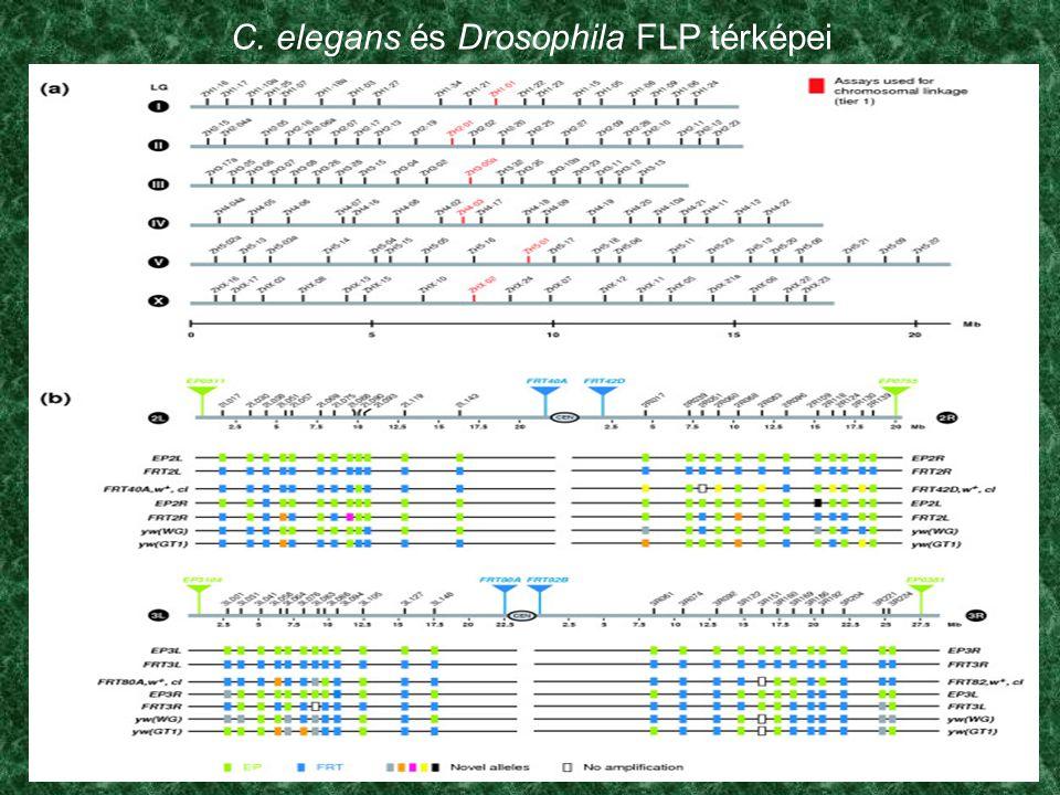 C. elegans és Drosophila FLP térképei