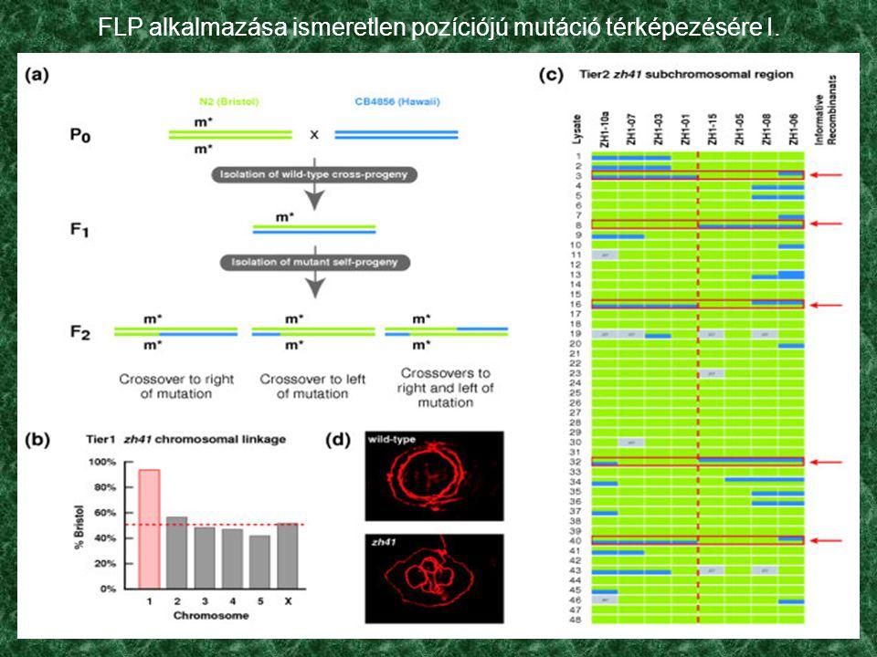 FLP alkalmazása ismeretlen pozíciójú mutáció térképezésére I.