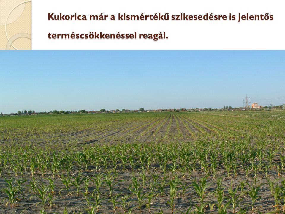 HEFOP 3.3.1. Kukorica már a kismértékű szikesedésre is jelentős terméscsökkenéssel reagál.