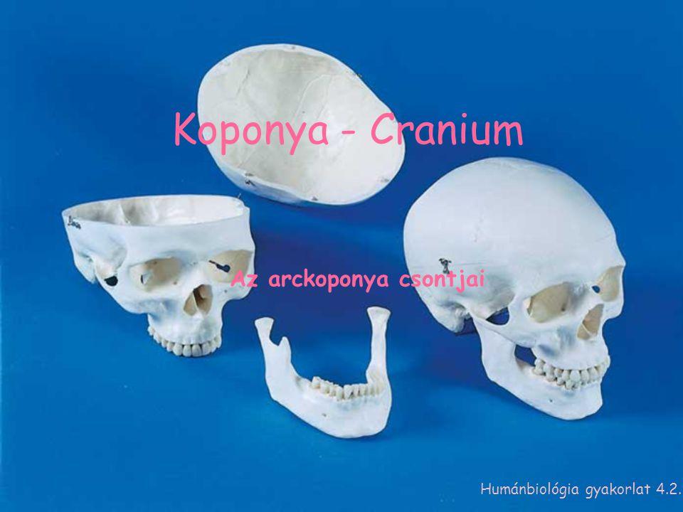 Koponya - Cranium Az arckoponya csontjai Humánbiológia gyakorlat 4.2.