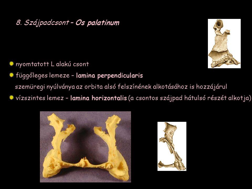 8. Szájpadcsont – Os palatinum nyomtatott L alakú csont függőleges lemeze – lamina perpendicularis szemüregi nyúlványa az orbita alsó felszínének alko