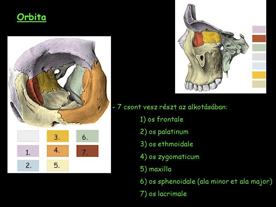 Orbita - 7 csont vesz részt az alkotásában: 1) os frontale 2) os palatinum 3) os ethmoidale 4) os zygomaticum 5) maxilla 6) os sphenoidale (ala minor et ala major) 7) os lacrimale 1.