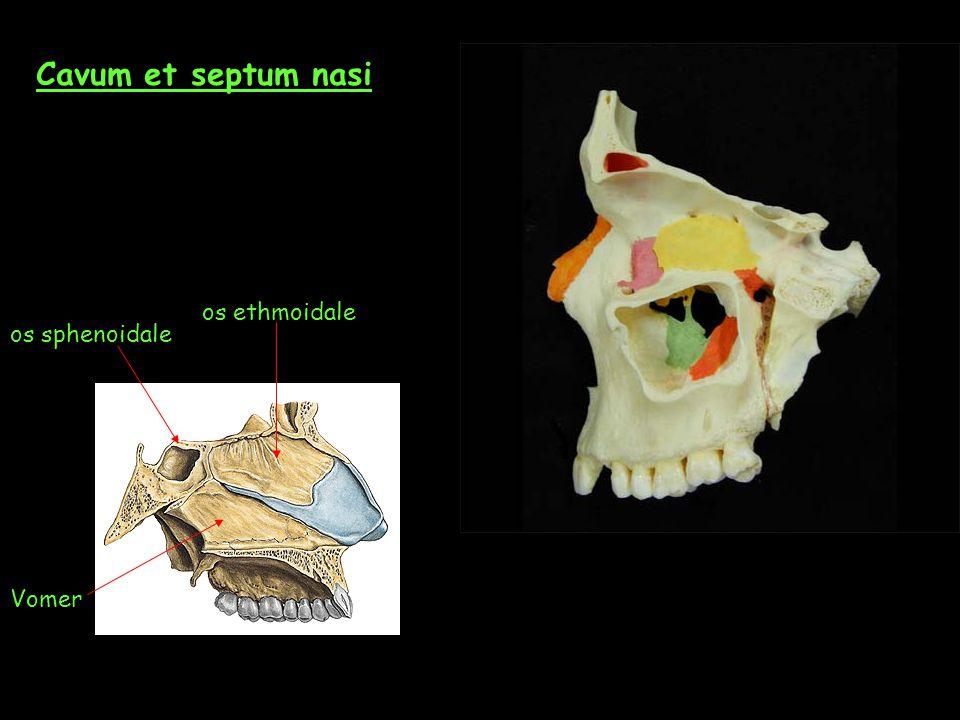 Cavum et septum nasi Vomer os ethmoidale os sphenoidale