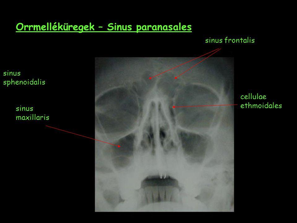 Orrmelléküregek – Sinus paranasales sinus frontalis sinus maxillaris cellulae ethmoidales sinus sphenoidalis