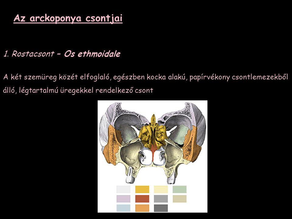 Az arckoponya csontjai 1. Rostacsont – Os ethmoidale A két szemüreg közét elfoglaló, egészben kocka alakú, papírvékony csontlemezekből álló, légtartal