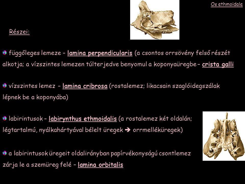 függőleges lemeze – lamina perpendicularis (a csontos orrsövény felső részét alkotja; a vízszintes lemezen túlterjedve benyomul a koponyaüregbe – crista galli vízszintes lemez – lamina cribrosa (rostalemez; likacsain szaglóidegszálak lépnek be a koponyába) labirintusok – labirynthus ethmoidalis (a rostalemez két oldalán; légtartalmú, nyálkahártyával bélelt üregek  orrmelléküregek) Részei: a labirintusok üregeit oldalirányban papírvékonyságú csontlemez zárja le a szemüreg felé – lamina orbitalis Os ethmoidale