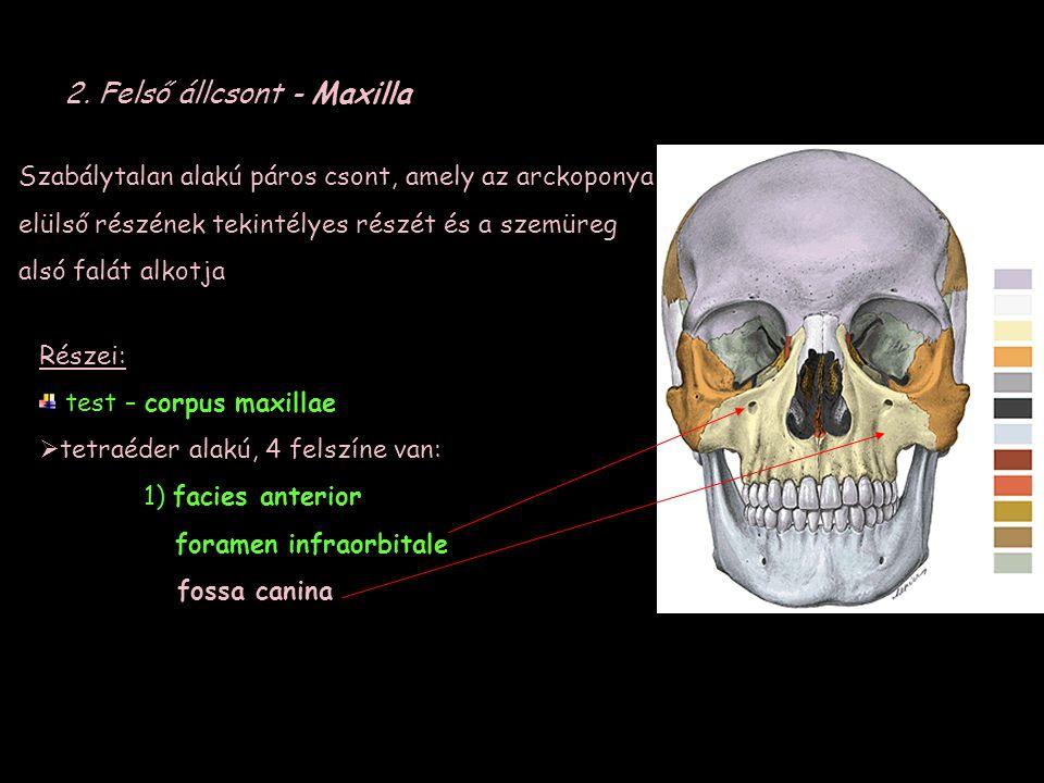 2. Felső állcsont - Maxilla Szabálytalan alakú páros csont, amely az arckoponya elülső részének tekintélyes részét és a szemüreg alsó falát alkotja Ré