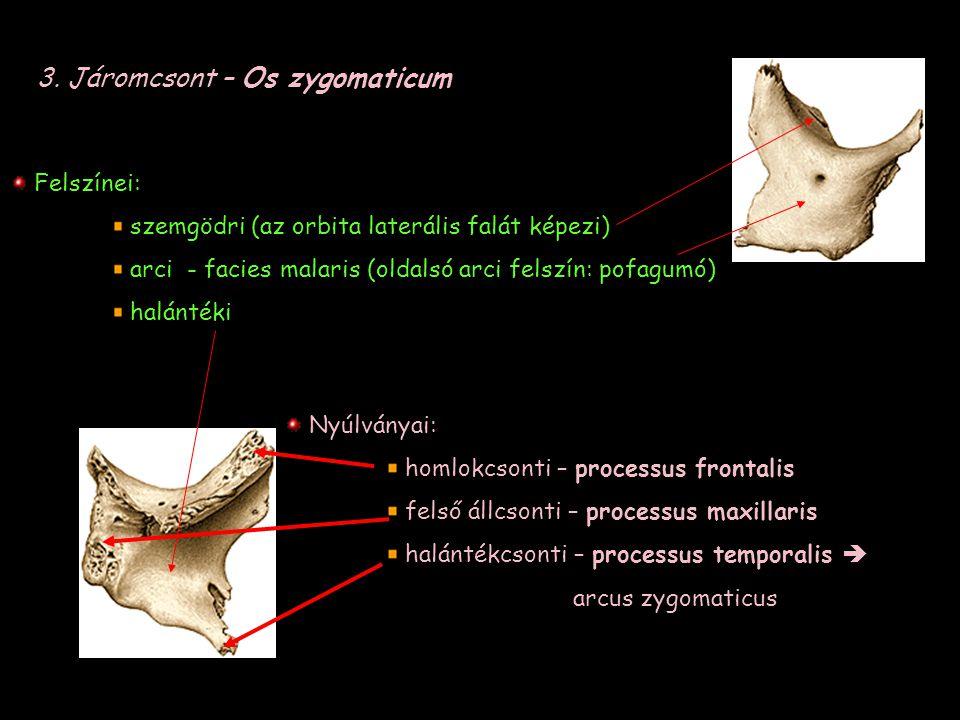 3. Járomcsont – Os zygomaticum Felszínei: szemgödri (az orbita laterális falát képezi) arci - facies malaris (oldalsó arci felszín: pofagumó) halánték