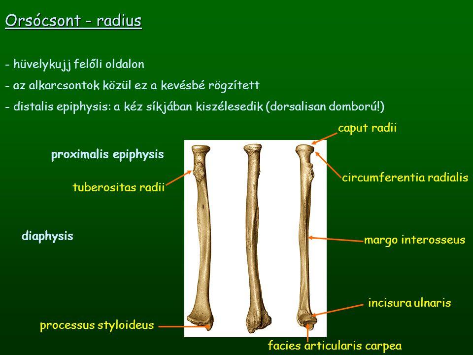 Orsócsont - radius - hüvelykujj felőli oldalon - az alkarcsontok közül ez a kevésbé rögzített - distalis epiphysis: a kéz síkjában kiszélesedik (dorsa