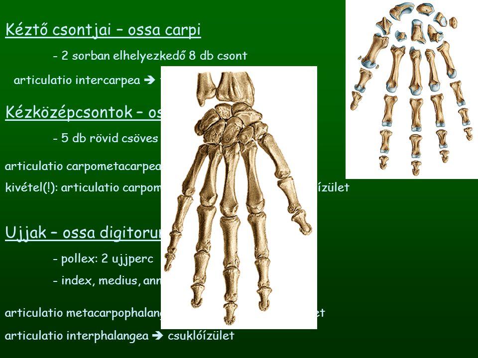 Kéztő csontjai – ossa carpi - 2 sorban elhelyezkedő 8 db csont Kézközépcsontok – ossa metacarpalia - 5 db rövid csöves csont Ujjak – ossa digitorum -