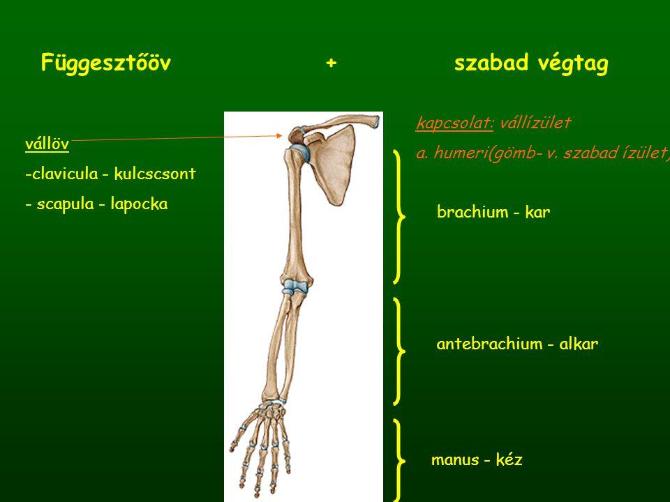 Kulcscsont - clavicula - S alakban görbült, felülről lefelé összelapított csont - medialis 2/3-a előre domború, lateralis 1/3-a hátra domborodik - sternalis (medialis) vége tömörebb, háromszög alakú articulatio sternoclavicularis  korlátolt szabad ízület - acromialis (lateralis) vége kis, ovális felszínnel kapcsolódik a lapockához articulatio acromioclavicularis  korlátolt szabad ízület extremitas acromialis extremitas sternalis