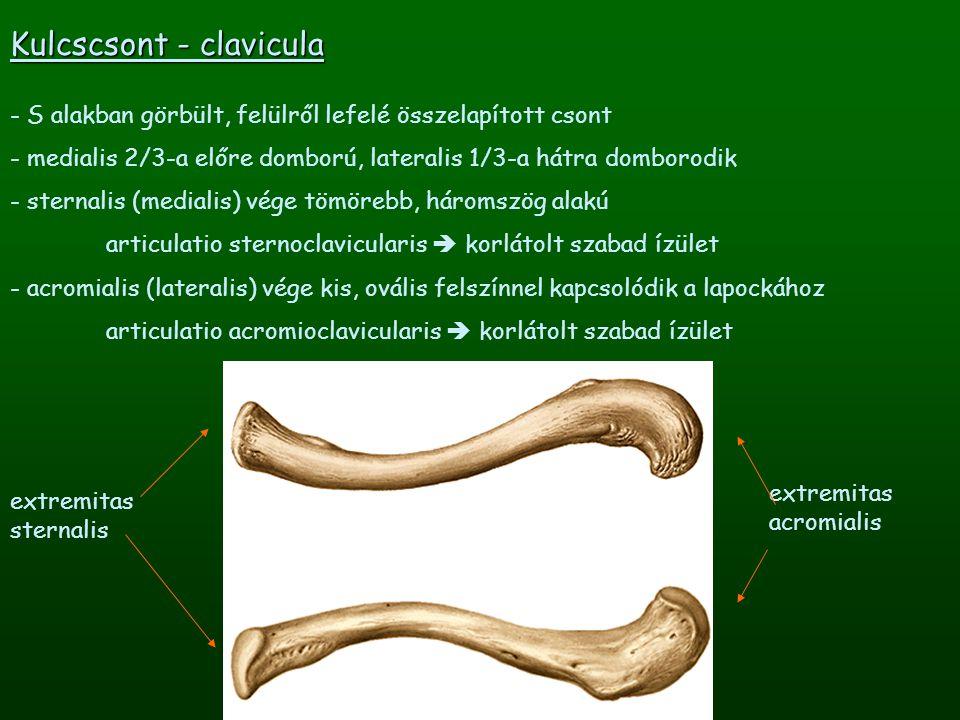 margo superior Lapocka - scapula - háromszögletű, lapos csont, melynek elülső felszíne homorú - egyenes testtartásban a 2-7.