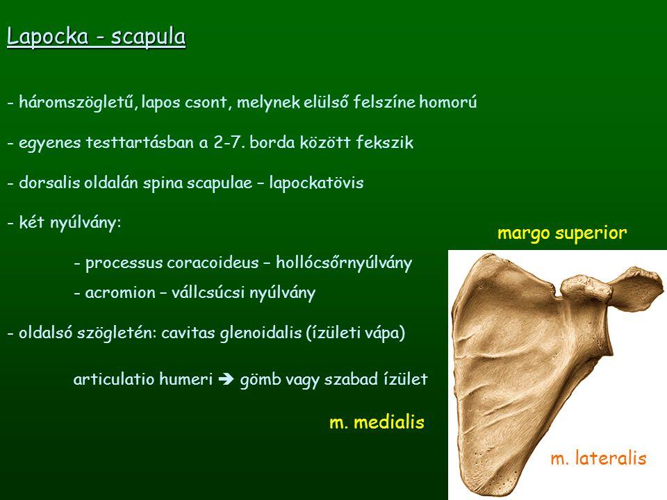 margo superior Lapocka - scapula - háromszögletű, lapos csont, melynek elülső felszíne homorú - egyenes testtartásban a 2-7. borda között fekszik - do