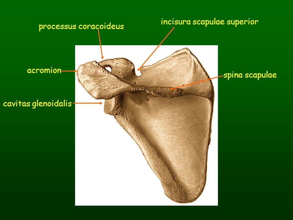 spina scapulae processus coracoideus acromion cavitas glenoidalis incisura scapulae superior