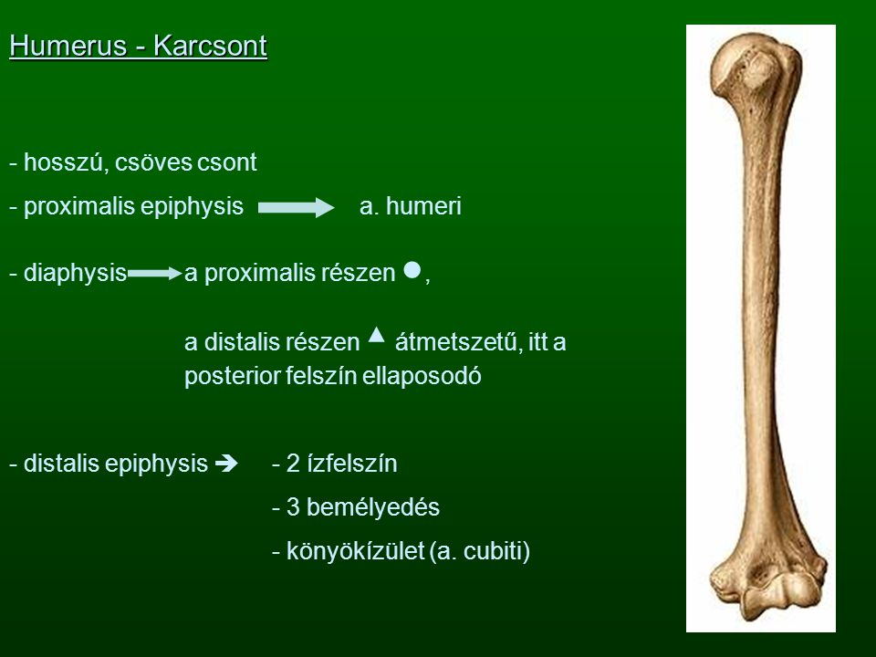 Humerus - Karcsont - hosszú, csöves csont - proximalis epiphysis a. humeri - diaphysisa proximalis részen ●, a distalis részen ▲ átmetszetű, itt a pos